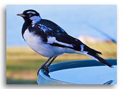 Magpie Lark PeeWee (Bear Dale) Tags: magpie lark peewee south coast new wales australia canon 5d mkii