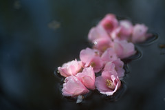 (rosemary*) Tags: 2018 5d camellia