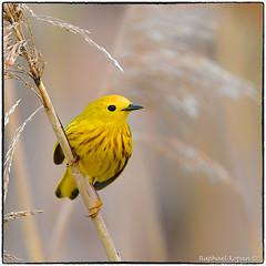 American Yellow warbler, male (RKop) Tags: d500 nikkor600f4evr 14xtciii ottawanwr ohio raphaelkopanphotography warblers warbler wildlife