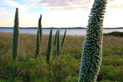 Very Big Wildflowers (adamsgc1) Tags: thecoorong southaustralia meningie flowers sunset water nationalpark stalks