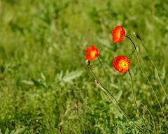 Poppies (shinichiro*) Tags: 20180505sdq2916 2018 crazyshin sigmasdquattro sdq sigma24105mmf4dgoshsm may spring flower yokosuka kanagawa japan jp ポピー 40638713570 candidate