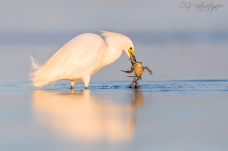 More than a little breakfast for the snowy egret...