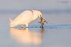 More than a little breakfast for the snowy egret... (Oliver Geiseler) Tags: bird photography vogel vogelfotografie florida usa sunrise crab krabbe beach strand snowy egret snowyegret schmuckreiher reiher