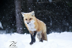 Snowy evening (Seventh day photography.ca) Tags: redfox fox animal mammal wildanimal wildlife predator spring snow ontario canada snowing