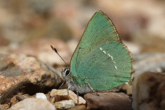 Green Hairstreak (Chris B@rlow) Tags: callophrysrubi greenhairstreak hairstreak butterfly nature insect wildlife fauna fontebenemola sigma105macro canon7dmarkii portugal algarve