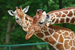 EOS 6D Mark II_1120 (Dave Melling) Tags: somaligiraffe giraffacamelopardalisreticulata reticulatedgiraffe brno zoo