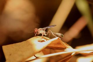 Ichneumónido (Ichneumonidae)