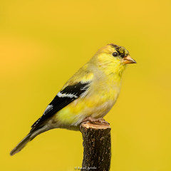 American Goldfinch / Carduelis tristis (Rafael Arvelo C.) Tags: carduelistristis