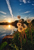 In soft light, Norway (Vest der ute) Tags: xt2 norway rogaland haugesund skeisvatnet flowers sky clouds water waterscape landscape lake reflections grass rocks evening weed sunset sunstar fav25 fav200