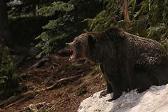 Yawn!! (crafty1tutu (Ann)) Tags: travel holiday 2018 canada alaska animal bear grizzlybear grousemountain refuge crafty1tutu canon5dmkiii ef100400mmf4556lisiiusm anncameron snow woods trees tree forest grass naturethroughthelens
