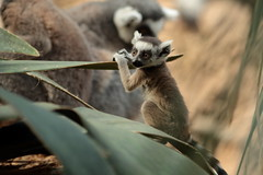 Baby Ring-Tailed Lemur (jopaz53) Tags: zoo monkey lemur baby ef20028l