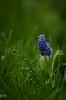 e-lias-2225 (e-lias hun) Tags: flower green spring grass blue m42 jupiter37a vintagelens d7000 elias