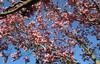 "IMG_0170e (tombarat) Tags: centralpark nyc usa conservatory""tulip""garden springtime"