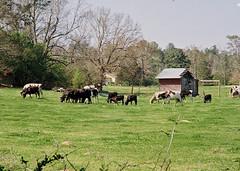 Cows on 110 Film (Neal3K) Tags: 110film georgia henrycountyga lomotiger200film pentaxauto110 barn cattle