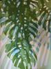 2018.03.28 Late Light (WIP) (Julia L. Kay) Tags: shadow shadows silhouette juliakay julialkay julia kay artist artista artiste künstler art kunst peinture dessin arte woman female sanfrancisco san francisco daily everyday 365 botanical botany plant foliage splitleaf philodendron splitleafphilodendron sundances acrylic paint painting paper oil oils oilpaint oilpainting