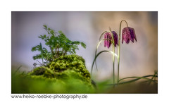 Schachblume / chess flower (Fritillaria meleagris) (H. Roebke) Tags: 2018 spring canon5dmkiv color nature flower blume frühling natur makro macro farbe flora canonef70200mmf28lisiiusm mehrfachbelichtung hannover multiexposure herrenhäusergärten de schachbrettblume lightroom schachblume coth bloom sunny springtime coth5