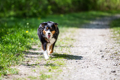 sunshine walk (Fotos aus OWL) Tags: dog hund aussie australianshepherd