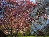 "IMG_0148e (tombarat) Tags: centralpark nyc usa conservatory""tulip""garden springtime"