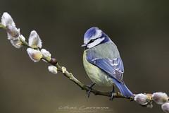 Herrerillo común - Cyanistes caeruleus - Eurasian blue tit. (Fotografias Unai Larraya) Tags: herrerillocomún animales fauna orgi ngc naturaleza navarra bosque flores colores