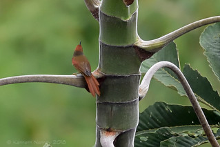 RED-FACED SPINETAIL 3