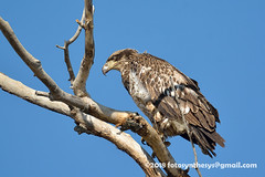 Bald Eagle (Haliaeetus leucocephalus), 2nd year DSC_6752 (fotosynthesys) Tags: baldeagle haliaeetusleucocephalus seaeagle eagle accipitridae raptor bird california delisted federallyendangered unitedstates