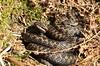 A Fine Bromance (Steviethewaspwhisperer) Tags: adder viper glenesk bask basking bromance snake snakes adders vipers