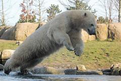 Polar bear TODZ (K.Verhulst) Tags: todz polarbears polarbear ijsberen ijsbeer beren bears blijdorp diergaardeblijdorp rotterdam