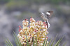 Squirrel Proof (gseloff) Tags: northernmockingbird bird cactus nature wildlife animal thenatureconservancy dolanfallspreserve valverdecounty texas devilsriver gseloff