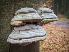 Boomzwammen (geert-smit) Tags: olympus natuur schoonloo forrest tree mushroom paddestoelen zwammen bomen