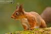Red Squirrel (Sciurus vulgaris) (gcampbellphoto) Tags: sciurus vulgaris red squirrel wodland nature wildlife gcampbellphoto mammal autumn animal outdoor depth field