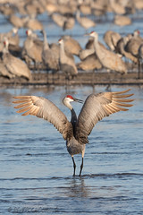 Sandhill_Cranes-29 (Beverly Houwing) Tags: nebraska sandhillcranes plattriver migration spring birds conservation cranetrust sanctuary protected coutship dance jump wings display flap leap impress ritual communicate grey gray unitedstates midwest