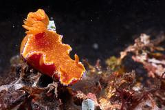 Ceratosoma tenue (Gomen S) Tags: animal wildlife nature macro sony rx100v asia tropical 2017 underwater ocean night winter marine cmc nauticam nudibranch