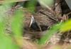 Calm in the nest (dusk_rider) Tags: blackbird nest hatchling baby chick nikon d7200 nikkor 60mm f28d garden dusk rider