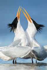 Courting Terns (just4memike) Tags: tern bird water white courtship mating wave