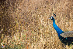 Eying the emptiness (Shikher Singh) Tags: peacock bird grass jungle forest wildlife pastures aravali delhi shikhersimagery