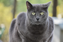 Toker the Forest Cat (Noble Bunny) Tags: handsome man giant huge large big male cat russian blue gray grey green eyes eyed feline