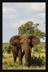 2018 02 01_Elephant-1 (Jonnersace) Tags: elephant olifant loxodontaafricana tusker tusk ears bull plains grass sky trunk pachiderm wildwingssafaris canon100400ii canon7dii canon