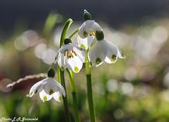 Leucojum (2000stargazer) Tags: leucojum snowflakes flowers flora bokeh macro light whiteflowers klosterklokker nature springflowers canon5d canon