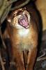 Bay cat - Catopuma badia - Borneogoldkatze (Delacouri) Tags: catopuma badia bay cat golden borneogoldkatze iucn redlist en java indonesia borneo kalimantan captive zoo tierpark tiergarten zoopark small feline felidae rare baycat