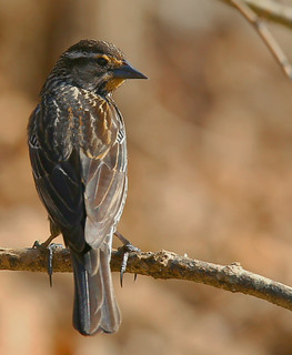 redwing-blackbird-31w