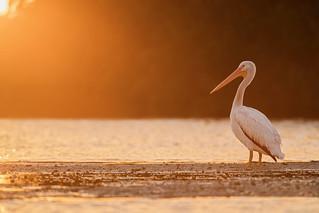 Pelican Sunset..