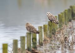 Short-Eared Owl 14-04-2018-4261 (seandarcy2) Tags: owls shorteared raptors birds of prey eldernell rspb cambs uk winter migrants fenland