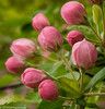 Pink Buds (Jim Frazier) Tags: q4 publicgarden 2018 20180513cantignyphotowalk 2018cantigny2018 bloom blooming blossoms botanic botanicgarden botanicalgarden botanicalgardens cantigny cantignypark dupage dupagecounty flora floral flowering flowers fountaingarden gardens horticulture il illinois jimfraziercom may museum natural nature naturefloraplantstrees park parks pink plants preserve spring wheaton new fresh growth newgrowth buds fruitseedpods pods f10 fastpictures