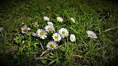 Spring is 3 Weeks Late This Year. (ManOfYorkshire) Tags: daisies daisy plant plants flowers flowering spring springtime late winter patch growing boltonhillfield doncaster uk gb england