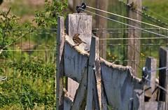 Small bird big fence....HFF (wilma HW61) Tags: hff hek hekwerk fence clôture gate zaun happyfencefriday mus vogel bird uccello oiseau nederland niederlande netherlands nikond90 holland holanda paysbas paesibassi paísesbajos europa europe outdoor wilmahw61 wilmawesterhoud passeridae passerdomesticus huismus sparrow moineau spatz