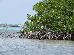 Bonaire 2018 (Valerie Hukalo) Tags: pélican pelican valériehukalo nature mangrove lacbay hukalo bonaire antilles caraïbes paysbas
