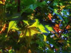 (FOTOS PARA PASAR EL RATO) Tags: cdmx maple naturaleza árboles hojas verde