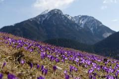 Spring in Tatra Mountains (jirka_74) Tags: landscape poland polsko tatry mountains krokus šafrán chocholowska spring flowers crocus