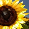 Lake Placid  New York ~ Sunflower and Bee ~ Macro (Onasill ~ Bill Badzo) Tags: sunflower bee flower saranaclake placidlake historic regiser nrhp essexcounty franklincounty downtown macro detail sl1 eos rebel sigma light shadow onasill vacation travel tourist ny newyork state adirondack mountains fishing hiking trekking attraction olympics plant stateflower kansas sunflowerstate sun