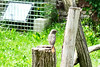 Croatia's national bird: Common Nightingale (ARKNTINA) Tags: europe croatia hr18 eur18 random6 zagreb zagrebcroatia medvedgrad medvedgradcaslte bird wildlife animal fauna nightingale commonnightingale